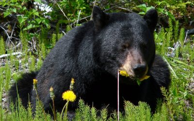 Campsite Dog's: Bear Attractant or Not